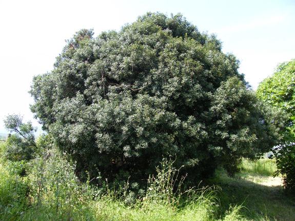 arbre à lentisque très ancien en Corse