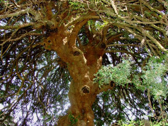 arbre lentisque pistachier