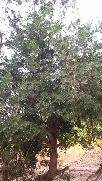 arbre_lentisque